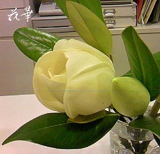 泰山木(たいざんぼく)の花言葉