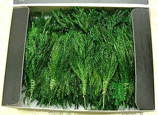 プリザーブドのクリスマスツリーが作れるキット(プチ・パイン-プリザーブドグリーン)の販売開始!
