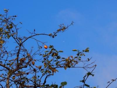 小鳥のための柿の実 Hana days2014.10.