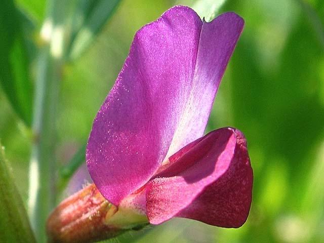 烏野豌豆(からすのえんどう)(45130 byte)