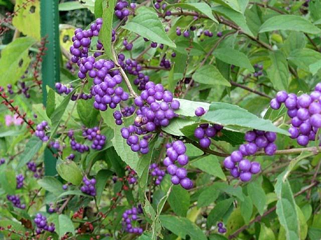 小紫(こむらさき)(70678 byte)