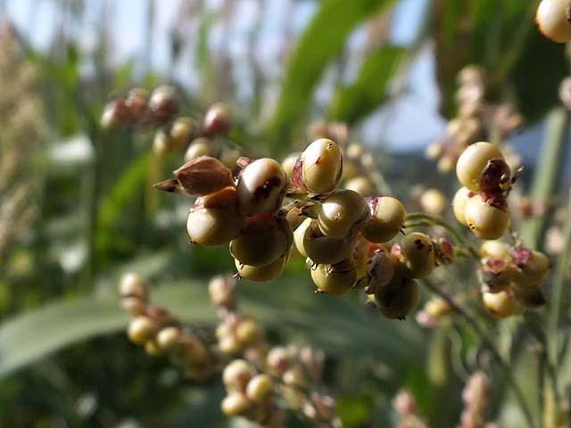 砂糖黍(さとうきび/ソルゴー)(34592 byte)