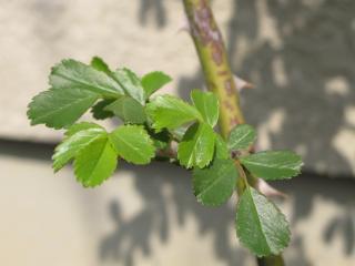 ツルバラ「バレリーナ」の新芽