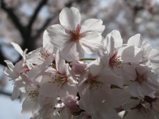 桜(治水緑地公園)