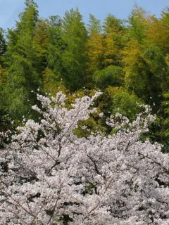 桜(公園)