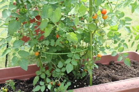 マイクロトマト0613