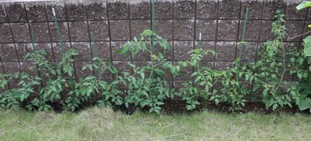 挿し芽トマト0617