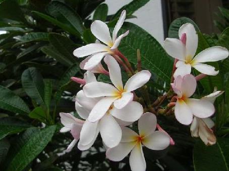 hawaiiflower04