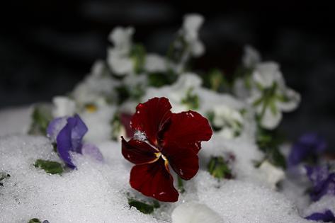 ビオラも雪の中♪