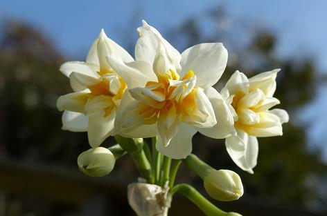 八重咲き水仙♪
