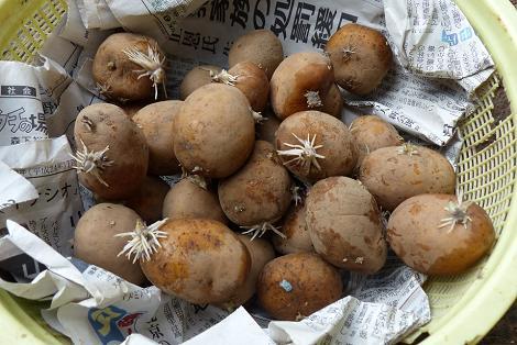 インカの種芋♪