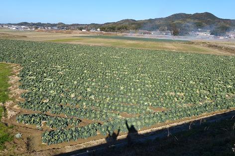 キャベツ畑♪