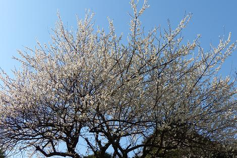 白い梅が満開♪