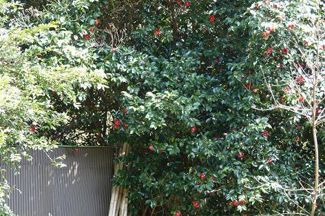 大きな藪椿の木♪