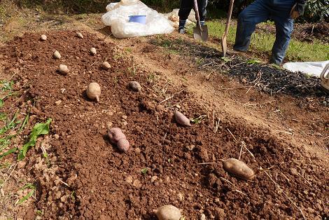 種芋を並べる♪