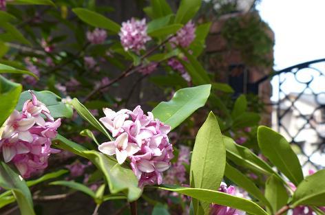 玄関の沈丁花♪