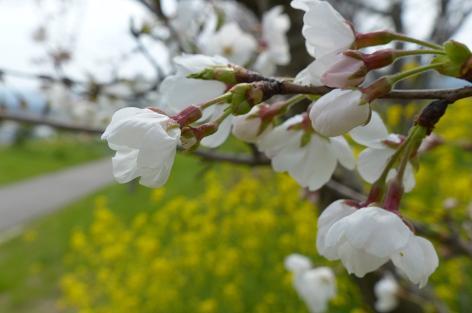 行橋の土手の桜は♪