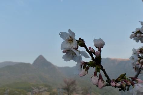麓の桜ととんがり山♪