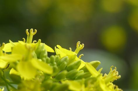 菜の花の季節♪