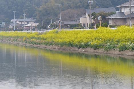 菜の花の川♪