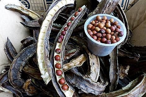 シカク豆の種♪
