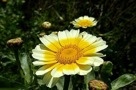 春菊の花には♪