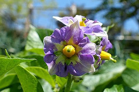 ジャガイモの花♪