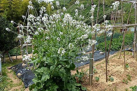白い菜の花♪