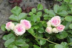 rose_mimi eden2