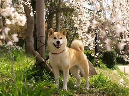 さくら&桜