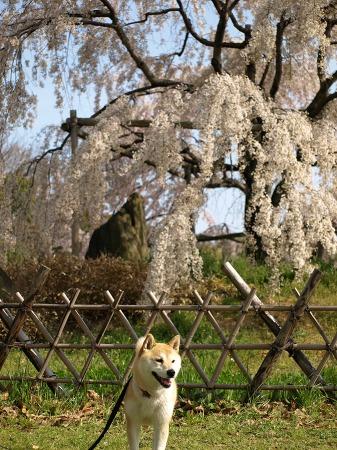 枝垂れ桜&さくら