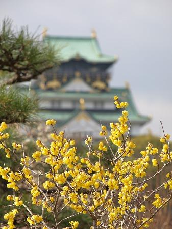 蝋梅と大阪城