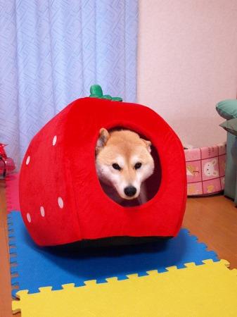 さくらのイチゴ!!