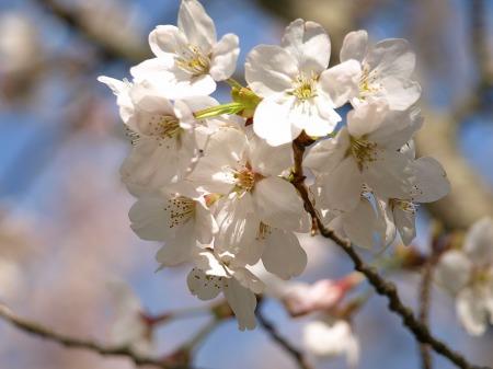 桜が綺麗!