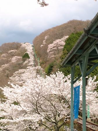 桜がいっぱい~