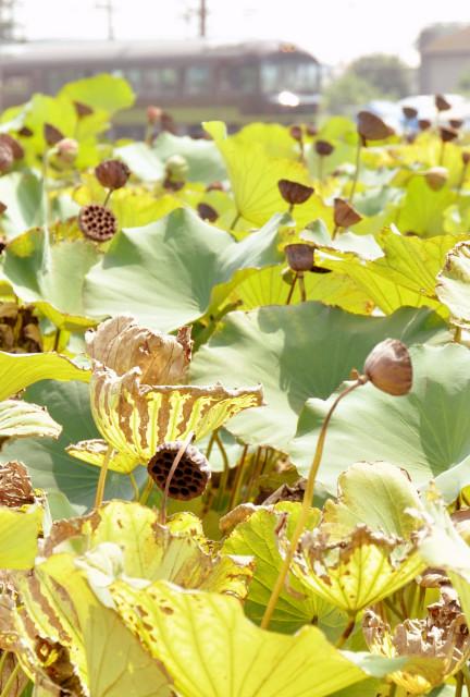 110910brown-lotus1.jpg
