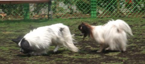 2010_0526dogrun_chibi0044.jpg