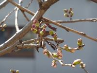 3月19日の桜