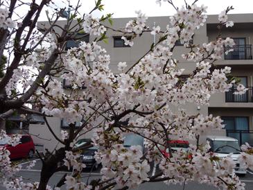 4月2日の桜