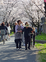 茶屋町の桜2