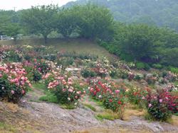 種松山バラ6