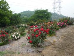 種松山バラ7