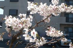 春風の桜4月6日