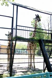 giraffe_brothers.jpg