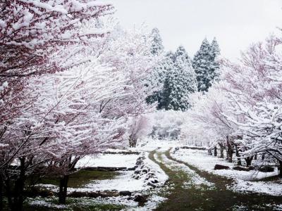 雪化粧した桜並木