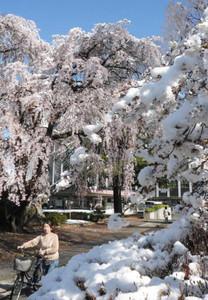 雪化粧した桜