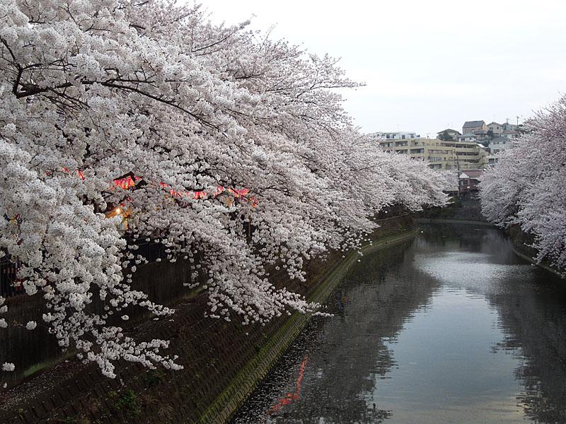 120410大岡川桜6