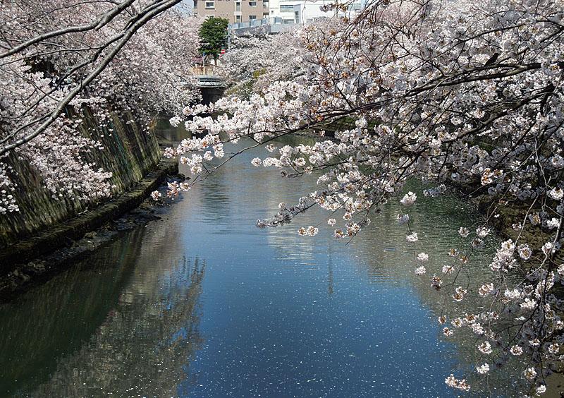 120410大岡川桜4