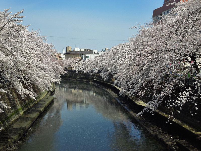 120410大岡川桜3