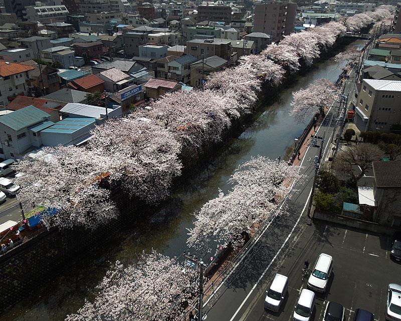 120410大岡川桜2